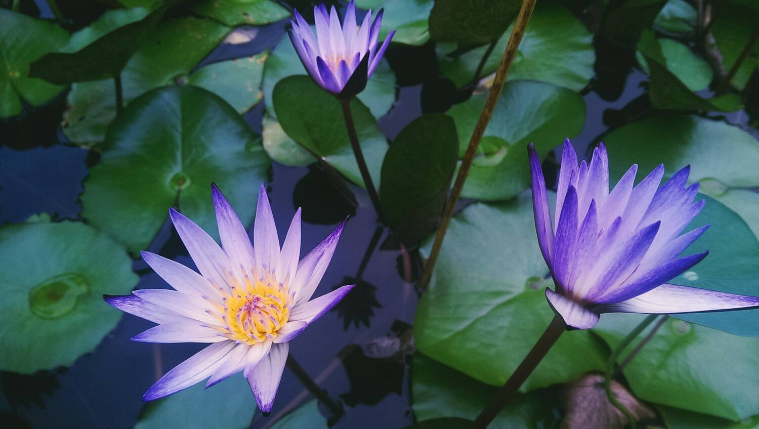 Overhead shot of violet water lilies on the surface of water - PerNaturam Shop